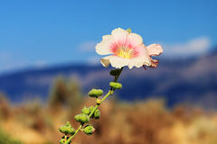 Pink and White Hollyhock. With a backdrop of blue sky and purple mountains Royalty Free Stock Photo