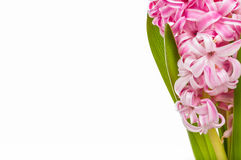 Pink and white hyacinth on white background with greeting card. Royalty Free Stock Image