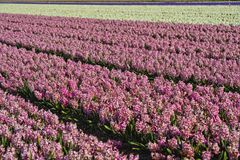 Pink and white hyacinths in the Bollenstreek Royalty Free Stock Images