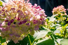 Pink and white hydrangea Royalty Free Stock Image