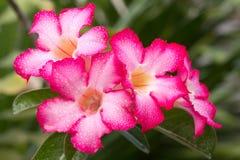 Pink-white impala lily Royalty Free Stock Photos