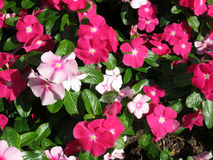 Pink and White Impatiens Royalty Free Stock Photo