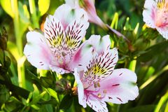 Pink and white inca plant. Also sometimes called a sun lily in cape town Royalty Free Stock Image