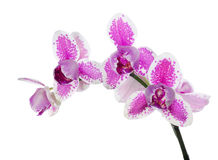 Pink and white isolated three petals orchid branch Stock Photo