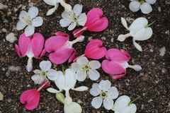 Pink and white bleeding heart flowers with cherry blossoms scattered on pavement. stock photography