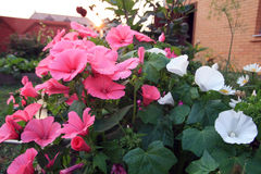 Pink and white lavatera flowers. In the home garden On the Sunset Stock Photography
