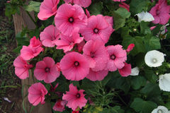 Pink and white lavatera flowers. In the home garden On the Sunset Stock Image