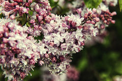 Pink with white lilac branch on background of natural greenery Royalty Free Stock Photo