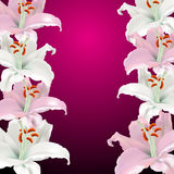 Pink and white lilies Royalty Free Stock Images