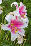 Pink-white lily Stock Image
