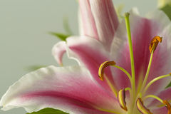 Pink and white lily flower in bloom Stock Photos