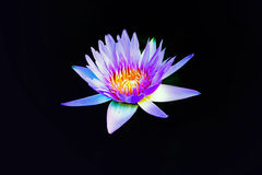 Pink and White Lotus Stock Photo