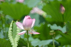 Pink and white lotus flower. Taking a close focus, the flower shows pink and white color. With lot's of light circle, the picture is getting dreamlike royalty free stock photos