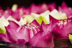 Lotus flowers closeup Stock Images