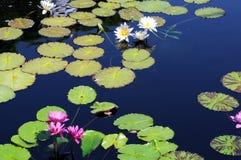 Pink and white lotus Stock Image