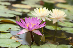 Pink and white lotus or water lily Stock Photo