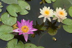 Pink and white lotus or water lily Royalty Free Stock Photo