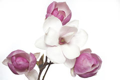 Pink and white magnolia flower Stock Images