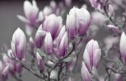 Pink and White magnolia flowers Royalty Free Stock Photo