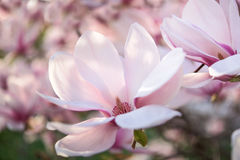 Pink and white magnolia Royalty Free Stock Photography