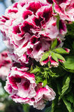 Pink and white Martha Washington geraniums Royalty Free Stock Images