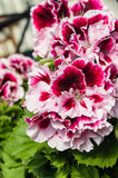 Pink and white Martha Washington geraniums Royalty Free Stock Photography