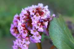 Pink and white Milkweed flower. In the meadow royalty free stock image
