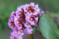 Pink and white Milkweed flower royalty free stock image