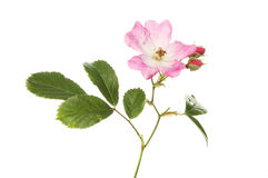 Pink and white miniature rose Stock Image