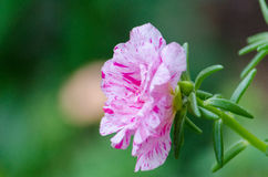 Pink and white moss rose Stock Photography
