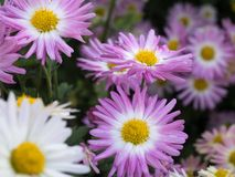 Pink and white mums in bloom stock photos