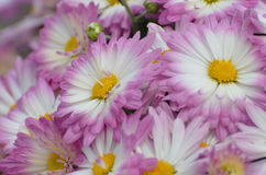 Pink and White Mums with Yellow Centers Stock Photos