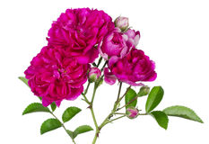 Pink on white Royalty Free Stock Image