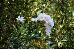 Pink and white Oleander royalty free stock photography
