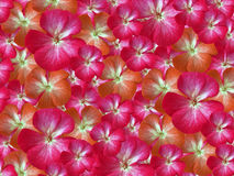 Pink-white-orange flowers geranium. floral background.  background of flowers. for design. Stock Photos