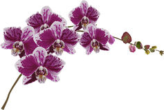 pink and white orchid blooms Stock Photography
