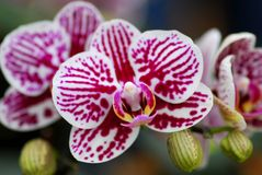 Pink white orchid flower Royalty Free Stock Photos
