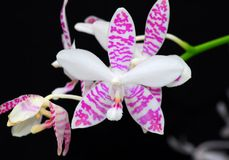 Pink white orchid flower Stock Image