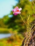 Pink and white orchid growing on tree Royalty Free Stock Image