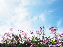 Pink and white orchid over clear blue sky royalty free stock photos