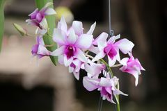 Pink with white orchid on the tree hanging for ornamentation. Orchids occur worldwide, especially as epiphytes in tropical forests, and are valuable hothouse royalty free stock photo