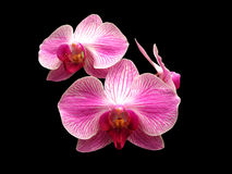 Pink and White Orchids Royalty Free Stock Images