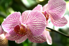 Pink and white orchids Royalty Free Stock Photo