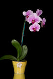 Pink & White Orchids On Black Background. Pink & white orchids in yellow pot isolated on black background Royalty Free Stock Photo