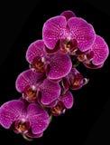 Pink & White Orchids On Black Background. Elegant pink & white orchids isolated on black background Royalty Free Stock Photo