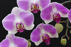 Pink and White Orchids Stock Image