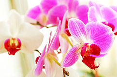 Pink and white orchids Stock Photography