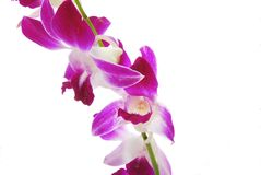 Pink and white orchids. On white background Royalty Free Stock Images