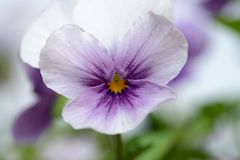 Pink and white pansy. Pink and white pansu in natural background stock image