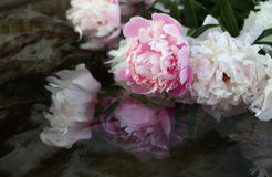 Peonies in water. Pink and white peonies are in the water stock photography